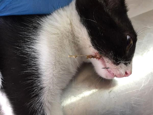 Sokak Kedisinin Ağzına Batan Olta İğnesi Operasyonla Çıkarıldı