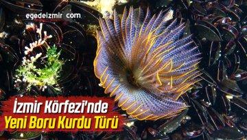 İzmir Körfezi'nde Yeni Boru Kurdu Türü