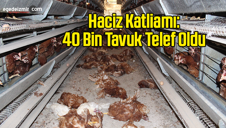 Haciz Katliamı: 40 Bin Tavuk Telef Oldu