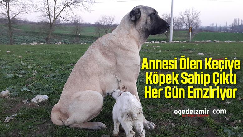 Annesi Ölen Keçiye Köpek Sahip Çıktı Her Gün Emziriyor