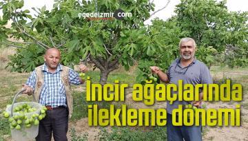 İncir ağaçlarında ilekleme dönemi