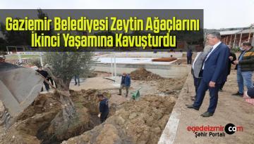 Gaziemir Belediyesi Zeytin Ağaçlarını İkinci Yaşamına Kavuşturdu