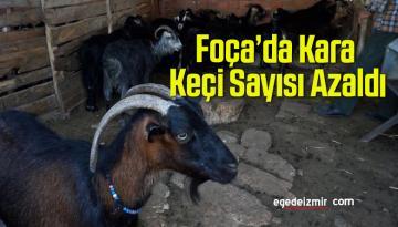 Foça'da Kara Keçi Sayısı Azaldı