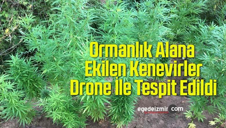 Ormanlık Alana Ekilen Kenevirler Drone İle Tespit Edildi