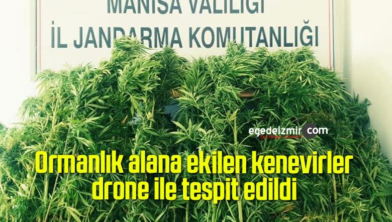 Ormanlık alana ekilen kenevirler drone ile tespit edildi